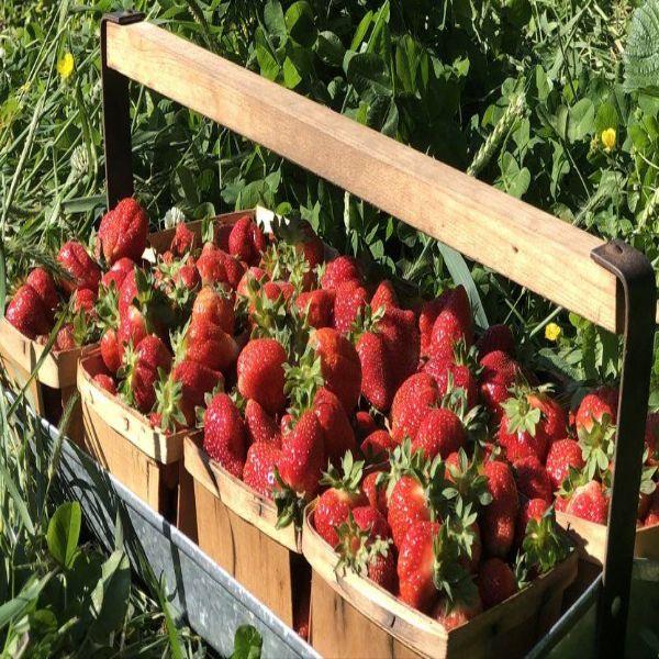 Cedar Hill Farm Pick-Ur-Own Strawberries